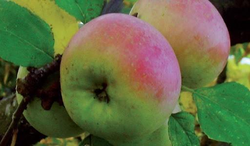 Mela zitella: il frutto per eccellenza tipico di Avellino